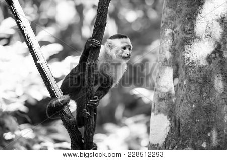 Monkey Capuchin Sitting On Tree Branch In Rainforest Of Honduras On Sunny Summer Day On Blurred Natu