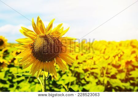 Bright Yellow Sunflowers And Sun. Field Of Sunflower Background With Copy Space.
