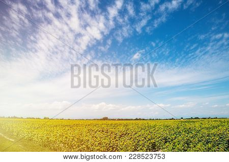 Field Of Sunflower Background With Copy Space.