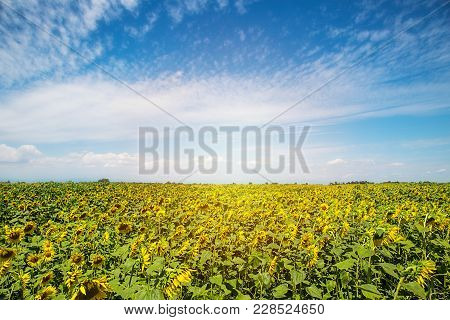 Field Of Sunflowers And Sun In The Blue Sky.field Of Sunflower Background With Copy Space.