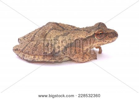 Spring Peeper (pseudacris Crucifer) On White Showing The Distinctive Crossed Markings On The Back