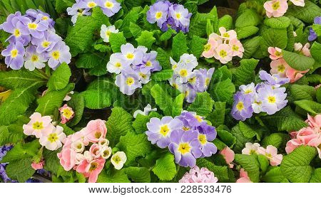 Beautiful Nature Spring Floral Wallpaper. Background Of Pink And Purple Primula Vulgaris Flowers. Ma