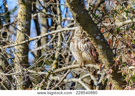 A Barred Owl Sleeping On A Branch In Daylight Hours At The Keystone Wildlife Management Area In Clin