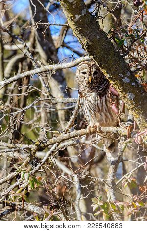 A Barred Owl With Peaked Interest Perched On A Tree Branch At The Keystone Wildlife Management Area