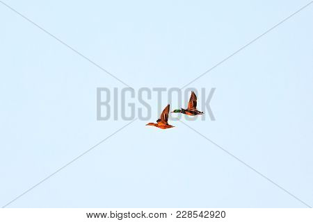 A Female And Male Mallard Duck Flies Over Sherry Lake With Another Male, Drake, Taging Along At The
