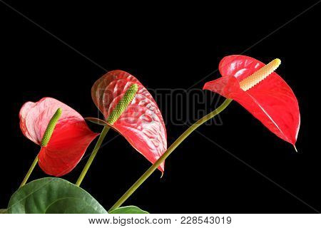 Red Anthurium Flowers Isolated On Black Background