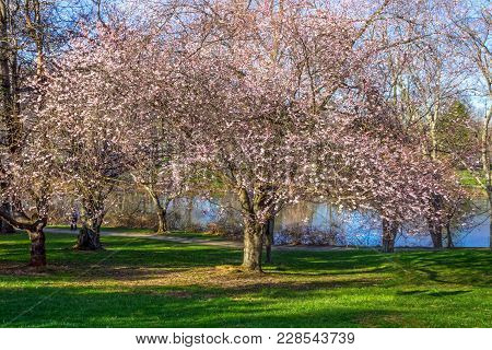 A Cherry Blossom Tree In Full Bloom In Holmdel Park In New Jersey.