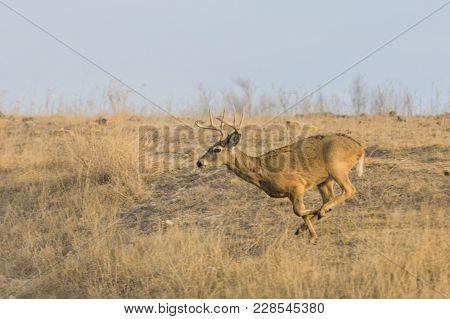 A White-tailed Buck Runs Along A Rocky Hillside At The Tallgrass Prairie Preserve In Pawhuska, Oklah