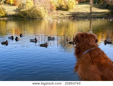 Dog Watching Ducks