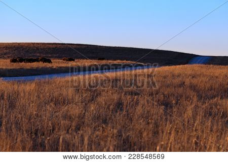 American Bison Laying Along The Landscape Of The Tallgrass Prairie Preserve Located In Pawhuska, Okl