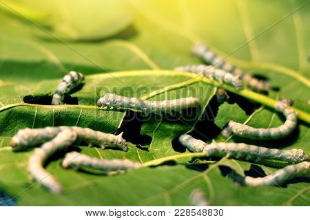 Silkworm Eat Mulberry Leaf Before Becoming A Cocoon For Making Silk Process