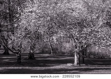 A Black And White Look At Cherry Blossoms In Bloom In Holmdel Park In New Jersey.