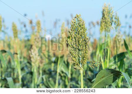 Sorghum In Field Agent Blue Sky