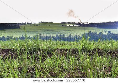 Sugar Cane Field In A Farm In Brazil