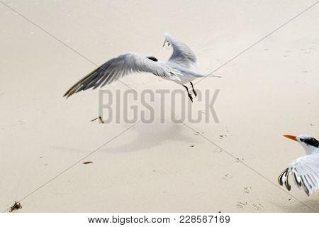 Flock Of Crested Tern Birds