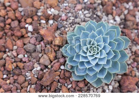 Succulents Or Cactus In Desert Botanical Garden. Succulents Or Cactus For Decoration. Cactus Succule