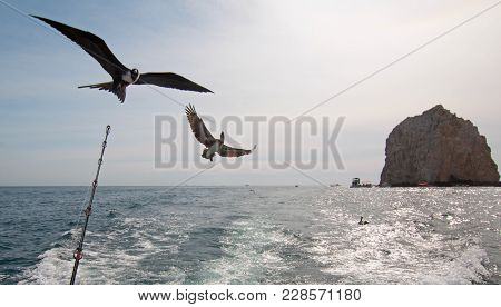 Frigate Bird And Pelican Flying Behind Charter Fishing Boat In Cabo San Lucas Baja California Mexico