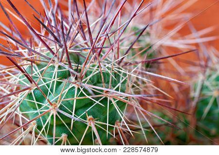 Cactus Selective Focus. Sharp, Long, Thick Spines Cactus (tephrocactus) Closeup.