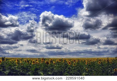 On A Sunny July Afternoon, White Fluffy Clouds Over A Large Field Of Sunflowers.