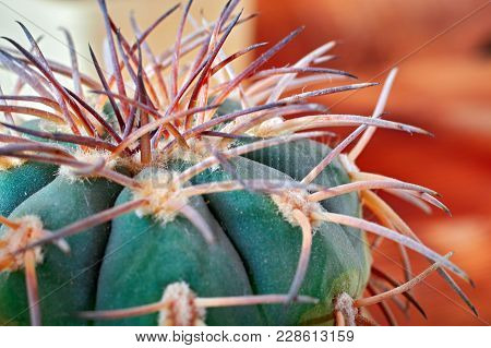 Close-up Cactus Stem With Sharp Spines. Areoles Green Cactus With Prickles.