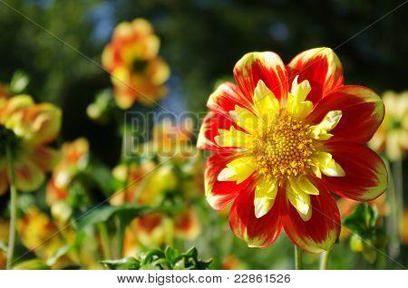 Beautiful dahlia flower