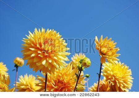 Yellow dahlias under blue sky