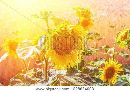 Flowers Sunflower Closeup And Wheat Field. Flowering Sunflower Flowers. Sunflower From Which Produce