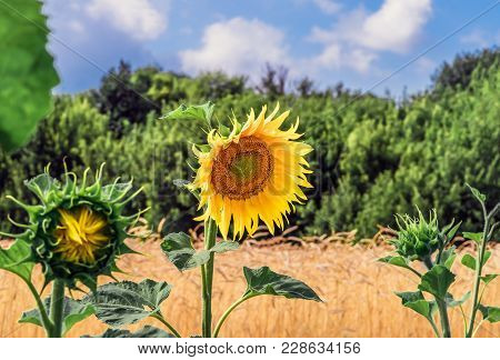 Flower Sunflower Against Wheat Field, Trees, Bush, Blue Sky And Clouds. Flowering Sunflower Flowers.