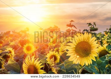 A Blossoming Sunflower Flower Close-up, A Hot Summer Day, An Agricultural Crop, A Growing Sunflower