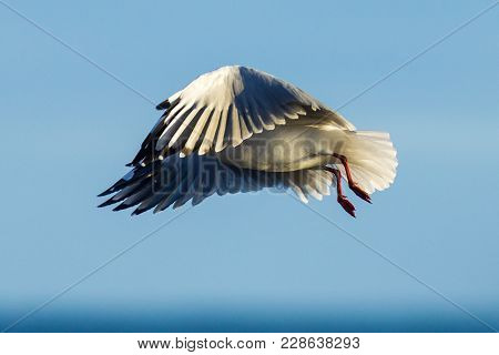 A Seagull In Flight With Wings Spread At Myponga Beach In South Australia Australia On The 16th Febr