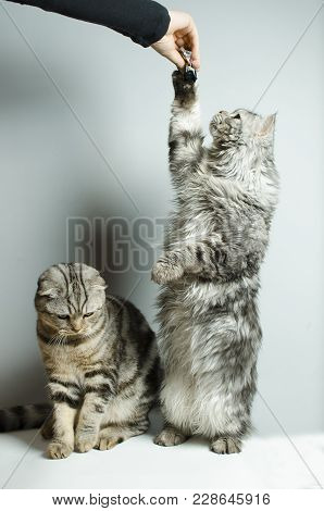 Scottish Fold And Scottish Straight Cats Are Played