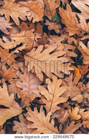 Oak Tree Leaves Background. Close Up View Of Fallen Oak Leaves. Autumn Leaves Texture And Background