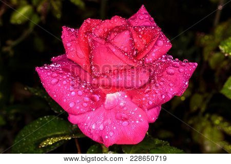Pink Rose. Close-up Photo. Rose In Drops Of Dew. Small Droplets Of Rain On The Rose.