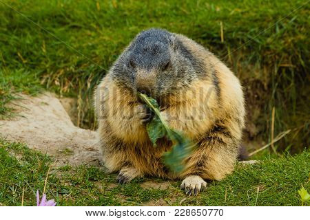 A Marmot Is Eating Quiet In A Meadow Near Its Den /close-up Of A Sociable Marmot
