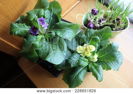 Pots With Primroses And Crocuses On The Table. Collection Of Home Primroses And Crocuses Grown In Po