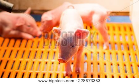 Swine Farming - Parent Swine Farm. Feeding Baby Pig. It Is One Of Livestock Farming Business