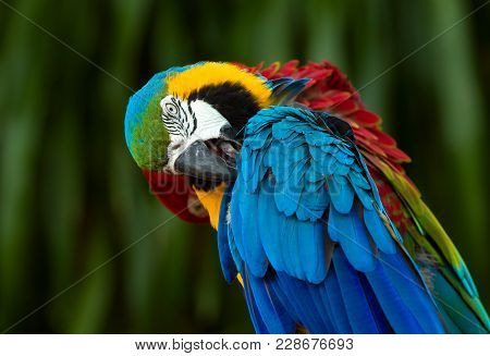 Close Up Of Blue And Yellow Macaw, Beautiful Colorful Parrot Preening Feather
