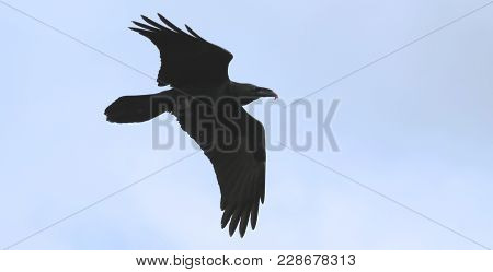 A Flying Raven, Genus Corvus, With Carrion In Its Bill