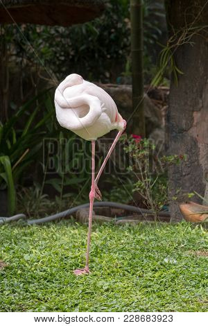 Greater Flamingo Sleeping By Standing On One Leg, Phoenicopterus Roseus Standing