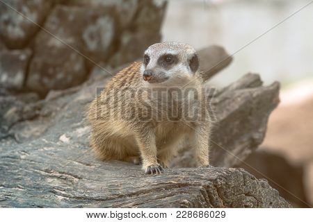 One Meerkat Standing On Timber And Looking Around For Survey