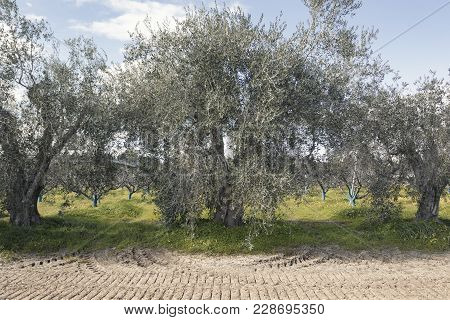 Secular Olive Trees In The Basilicata Region In Southern Italy To Understand A Concept Of Agricultur