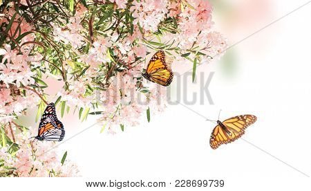 Flowers of pink color and monarch butterflies (Danaus plexippus, Nymphalidae). Isolated on white background