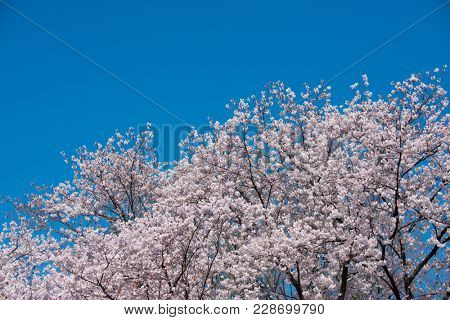 Beautiful cherry blossoms canopy with clear blue sky in background. full bloom.