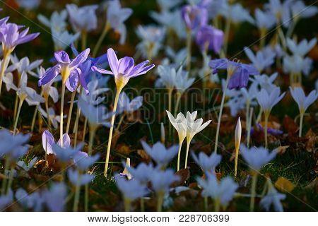 Flower garden with crocus pulchellus zephyr