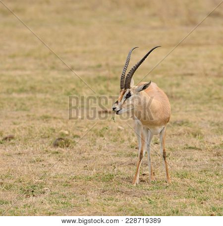 Grant's Gazelle (scientific name: Gazella granti, robertsi or