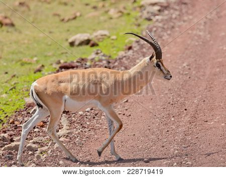 Closeup of Grant's Gazelle ( Gazella granti, robertsi) crossing a road    in the Ngorogoro National park, Tanzania