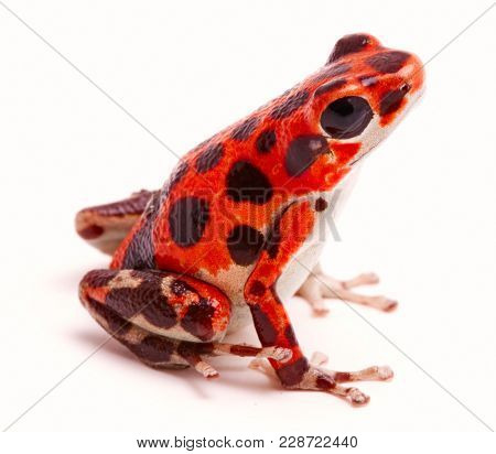 Poison dart or arrow frog, a morph found on Red Frog Beach, Bastimentos, Bocas del Toro, Panama.Tropical poisonous rain forest animal, Oophaga pumilio isolated on a white background.