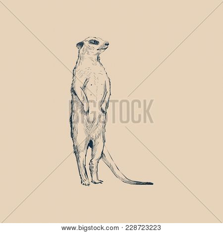 Illustration drawing style of meerkat