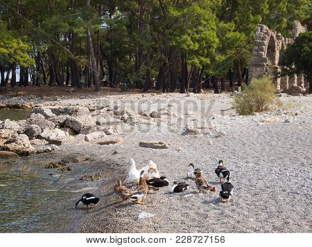 Phaselis, Turkey - Ducks In The Phaselis Bay, The Aqueduct, An Ancient Greek And Roman City On The C