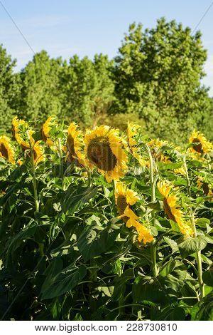 Girasoles Altos Abiertos De Color Amarillo Con Hoja Verde